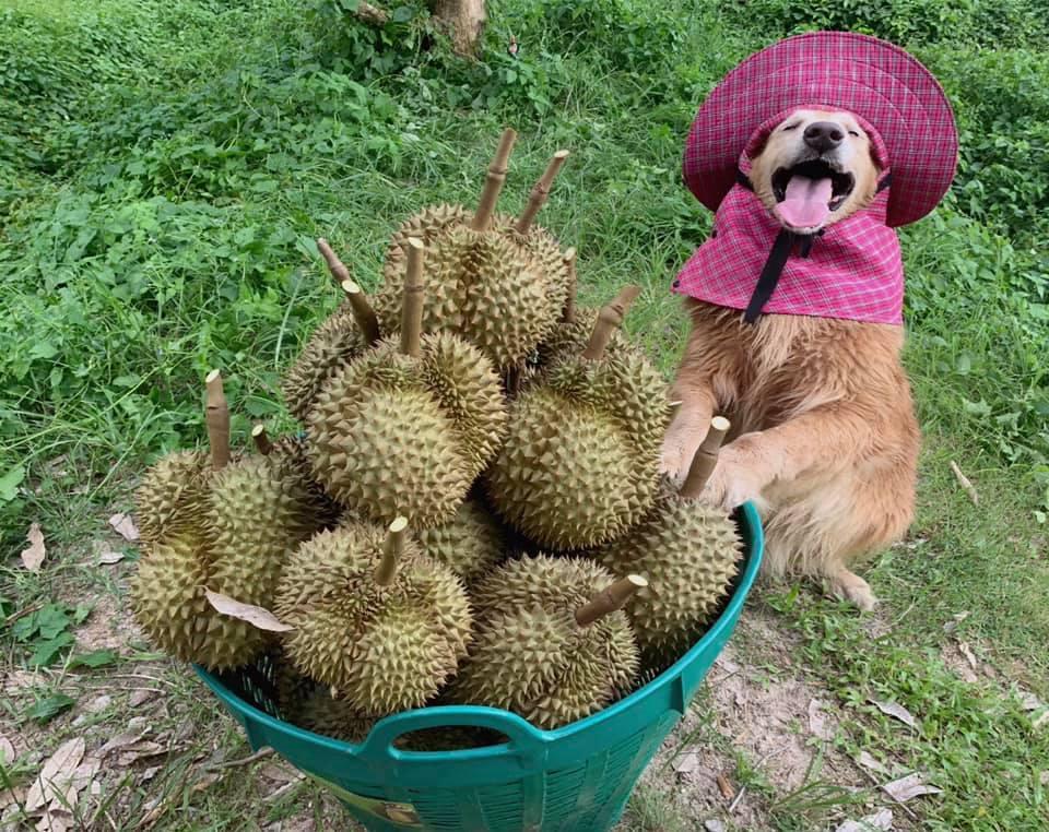 jubjib durian harvester thailand