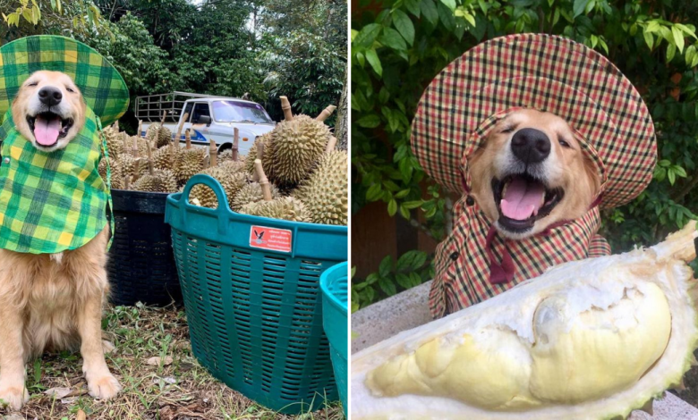Photo of The Happiest Golden Retriever In Thailand Harvests Durian With A Huge Smile